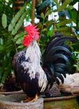 Κοτόπουλο κοκκόρων που είναι κόρακας κοκκόρων Στοκ φωτογραφία με δικαίωμα ελεύθερης χρήσης