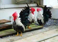 Κοτόπουλο κοκκόρων Στοκ εικόνα με δικαίωμα ελεύθερης χρήσης