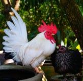 Κοτόπουλο κοκκόρων Στοκ φωτογραφίες με δικαίωμα ελεύθερης χρήσης