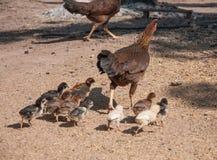 Κοτόπουλο με τα μωρά Στοκ Φωτογραφία