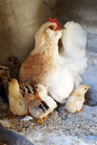 Κοτόπουλο μητέρων με τους νεοσσούς μωρών του Στοκ εικόνα με δικαίωμα ελεύθερης χρήσης
