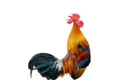 Κοτόπουλο μικρόσωμο, λάλημα κοκκόρων στοκ εικόνες