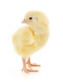 κοτόπουλο μικρό Στοκ φωτογραφία με δικαίωμα ελεύθερης χρήσης