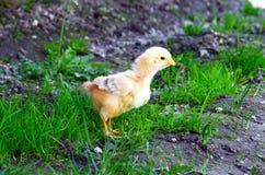 κοτόπουλο μικρό στοκ εικόνες