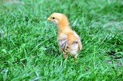 κοτόπουλο μικρό στοκ φωτογραφίες