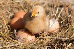 Κοτόπουλο μωρών με σπασμένο eggshell και αυγά στη φωλιά αχύρου Στοκ Φωτογραφίες