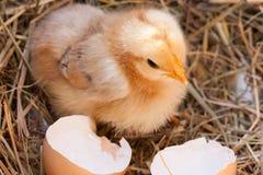 Κοτόπουλο μωρών με σπασμένο eggshell στη φωλιά αχύρου Στοκ φωτογραφία με δικαίωμα ελεύθερης χρήσης