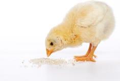 Κοτόπουλο μωρών που έχει ένα γεύμα Στοκ Εικόνα