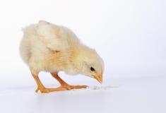 Κοτόπουλο μωρών που έχει ένα γεύμα Στοκ Φωτογραφίες