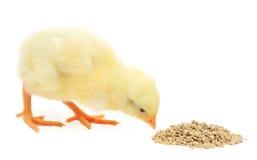 Κοτόπουλο μωρών που έχει ένα γεύμα Στοκ εικόνες με δικαίωμα ελεύθερης χρήσης