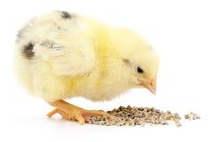 κοτόπουλο μωρών που έχει το γεύμα Στοκ φωτογραφία με δικαίωμα ελεύθερης χρήσης