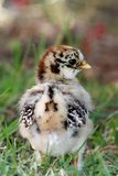 Κοτόπουλο μωρών Στοκ Φωτογραφίες