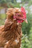 Κοτόπουλο πιπεροριζών Στοκ Φωτογραφίες