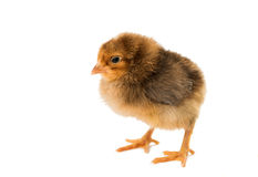 Κοτόπουλο που απομονώνεται λίγο Στοκ Εικόνες