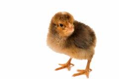 Κοτόπουλο που απομονώνεται λίγο Στοκ Φωτογραφίες