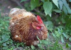 Κοτόπουλο σειράς Στοκ εικόνες με δικαίωμα ελεύθερης χρήσης