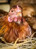 Κοτόπουλο στη φωλιά Στοκ Εικόνες