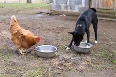 Κοτόπουλο στη φύση με το σκυλί Στοκ Φωτογραφία