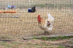 Κοτόπουλο στη φύση Στοκ Φωτογραφίες