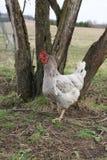 Κοτόπουλο στη φύση Στοκ Εικόνες