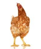 Κοτόπουλο στο άσπρο υπόβαθρο, αντικείμενο, ένα ζώο κινηματογραφήσεων σε πρώτο πλάνο στοκ εικόνες με δικαίωμα ελεύθερης χρήσης