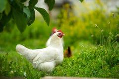 Κοτόπουλο στο αγρόκτημα Στοκ φωτογραφίες με δικαίωμα ελεύθερης χρήσης