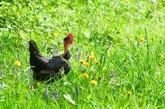 Κοτόπουλο στο λιβάδι Στοκ Φωτογραφία