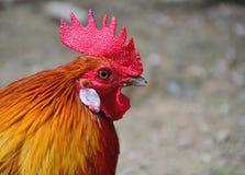 Κοτόπουλο Στοκ φωτογραφίες με δικαίωμα ελεύθερης χρήσης
