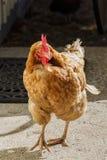 Ζωντανό κοτόπουλο που περπατά στον ήλιο κοντά επάνω Στοκ Εικόνες