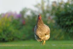 Κοτόπουλο Bluebelle υπαίθρια στην πράσινη χλόη Στοκ Φωτογραφίες