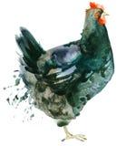 Κοτόπουλο Watercolor κοτόπουλου ελεύθερη απεικόνιση δικαιώματος