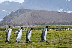 Κουαρτέτο του βασιλιά Penguins που βαδίζει πέρα από την πεδιάδα του Σαλίσμπερυ, νότια Γεωργία στοκ εικόνες με δικαίωμα ελεύθερης χρήσης