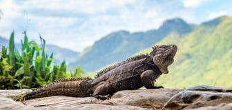 Κουβανικά iguana & x28 βράχου Cyclura nubila& x29  Στοκ φωτογραφίες με δικαίωμα ελεύθερης χρήσης