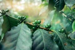 Κουβανική φυτεία καφέ Στοκ φωτογραφίες με δικαίωμα ελεύθερης χρήσης