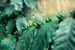 Κουβανική φυτεία καφέ Στοκ Εικόνες