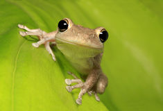 Κουβανικός βάτραχος δέντρων στο αναδρομικά φωτισμένο πράσινο φύλλο Στοκ Φωτογραφία