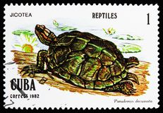 Κουβανικός ολισθαίνων ρυθμιστής (decussata Pseudemys), ερπετά serie, circa 1982 στοκ εικόνες με δικαίωμα ελεύθερης χρήσης