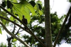 Κουβανικός πράσινος δρυοκολάπτης ενδημικός της Κούβας - Peninsula de Zapata στο National πάρκο, Κούβα στοκ φωτογραφίες