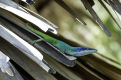 Κουβανικό αρσενικό allisoni της Allison ` s Anole Anolis σαυρών, επίσης γνωστό ως μπλε-διευθυμένη anole - Varadero, Κούβα Στοκ Εικόνα