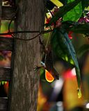Κουβανικό καφετί λάμποντας Dewlap Anole Στοκ Φωτογραφία