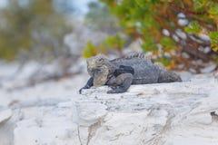 Κουβανικό Iguana, άγρια φύση χρωματισμένος cayo βραδύτατος πολυ φοίνικας τρία της Κούβας δέντρα στοκ εικόνα με δικαίωμα ελεύθερης χρήσης