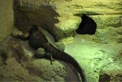 Κουβανικό iguana βράχου, ή nubila Cyclura Στοκ εικόνες με δικαίωμα ελεύθερης χρήσης