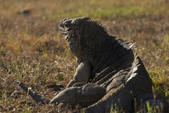 Κουβανικό iguana βράχου Στοκ Εικόνες