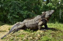 Κουβανικό iguana βράχου (nubila Cyclura) Στοκ Φωτογραφίες