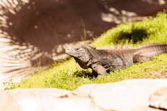 Κουβανικό iguana γνωστό ως nubila Cyclura επίγαμο Στοκ Φωτογραφίες