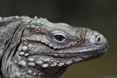 κουβανικό iguana Στοκ εικόνα με δικαίωμα ελεύθερης χρήσης