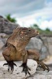 κουβανικό iguana Στοκ Εικόνες
