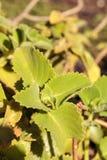 Κουβανικό Oregano amboinicus Plectranthus Στοκ Εικόνες
