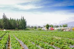 ΚΟΥΙΤΟ, ΙΣΗΜΕΡΙΝΟΥ - 13 ΝΟΕΜΒΡΙΟΥ, 2017: Όμορφη φυτεία σειρές των εγκαταστάσεων φραουλών σε έναν τομέα φραουλών Στοκ φωτογραφία με δικαίωμα ελεύθερης χρήσης