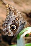 κουκουβάγια πεταλούδων Στοκ Εικόνες